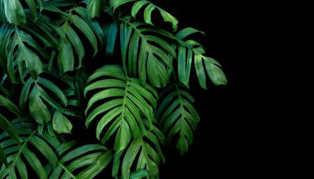 Groene bladeren van Monstera plant groeit in het wild, het tropische woud plant, evergreen wijnstokken op een zwarte achtergrond.