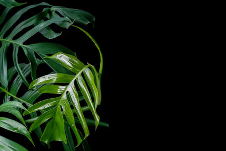 Green leaves with water drops of Monstera plant growing in wild, the tropical forest plant, evergreen vine on black background.