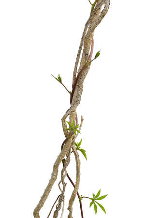 Dried liana plant with wild morning glory vine climbing isolated on white background