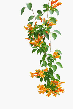 vegatation: Flame vine (Pyrostegia venusta) or orange trumpet vine , liana plant with green leaves and vibrant color flowers isolated on white background,