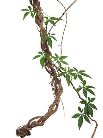 Twisted big jungle vines with leaves of wild morning glory liana plant isolated on white background