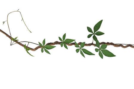야생 나팔꽃 잎의 palmate 잎 트위스트 정글 덩굴 흰색 배경,