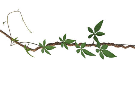 Twisted jungle vines with palmate leaves of wild morning glory liana plant isolated on white background,
