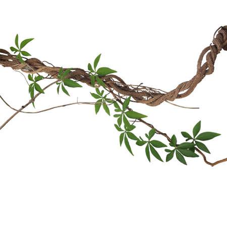 흰색 배경에 고립 된 야생 나팔꽃 등나무 식물의 잎 트위스트 큰 정글 포도 나무