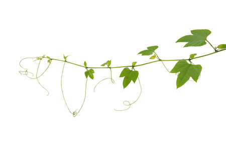 Young palmately green leaves vine with tendrils and budding flowers of spiny bitter gourd or gac fruit tropical plant isolated on white background Stock Photo