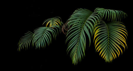 Green and yellow palm leaves, tropical plant growing in wild on black background.
