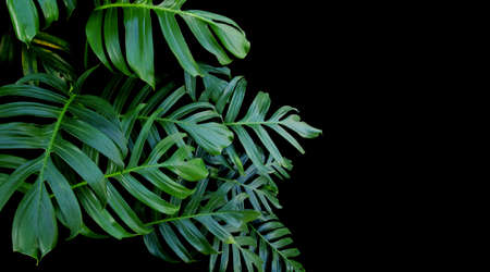 Green leaves of Monstera plant growing in wild, the tropical forest plant, evergreen vine on black background. Archivio Fotografico