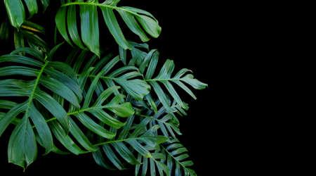 Las hojas verdes de las plantas que crecen en Monstera salvaje, la planta de selva tropical, vid de hoja perenne en el fondo negro. Foto de archivo - 75044287