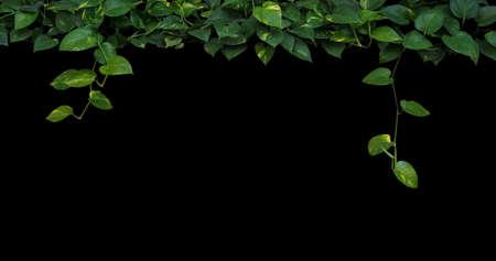 De wildernisinstallatie verlaat achtergrond, hart-vormige groen gele bladerenwijnstok, de klimop van de duivel, gouden pothos die op zwarte achtergrond hangen.