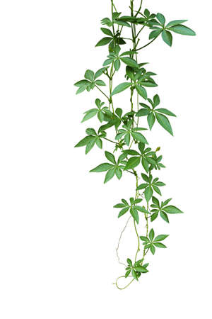 Wild morning glory climbing vine hanging with palmate green leaves and budding flower isolated on white background, 免版税图像