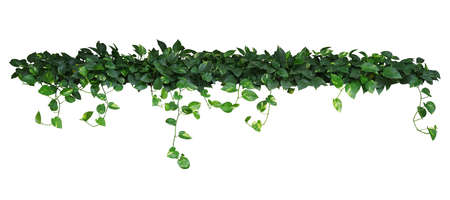 Heart shaped green yellow leaves of devils ivy or golden pothos, bush with hanging branches isolated on white background, clipping path included.