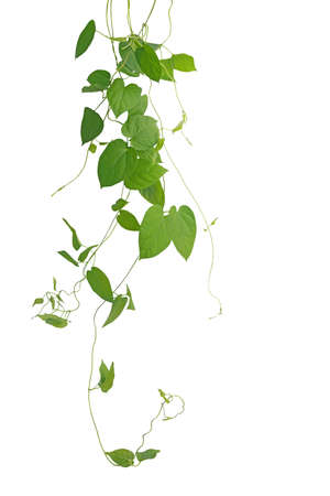heart shaped: Heart-shaped green leaf climbing vines isolated on white background, clipping path included. Cowslip creeper the medicinal plant.