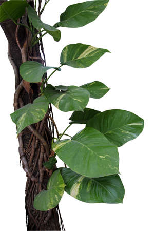 devils garden: Devils ivy or Golden pothos growing in wild, big jungle vines and aerial roots climbing on tree trunk isolated on white background, clipping path included. Stock Photo