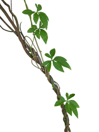 Twisted jungle vines with green leaves of wild morning glory liana plant isolated on white background, clipping path included.