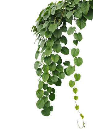 Heart-shaped thick green leaf wild vines, hanging climber vine bush isolated on white background, clipping path included. Archivio Fotografico