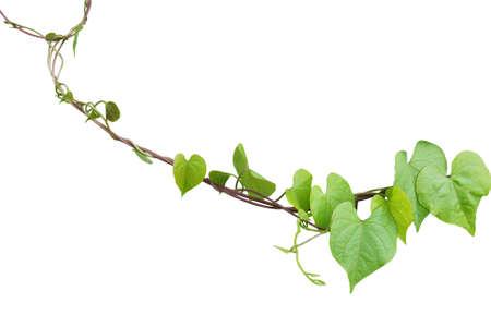 심장 모양의 녹지 단풍 분명하지 않은 나팔꽃 (나팔꽃 obscura) 포함하는 클리핑 패스 흰색 배경에 고립 된 포도 나무 식물을 등반.
