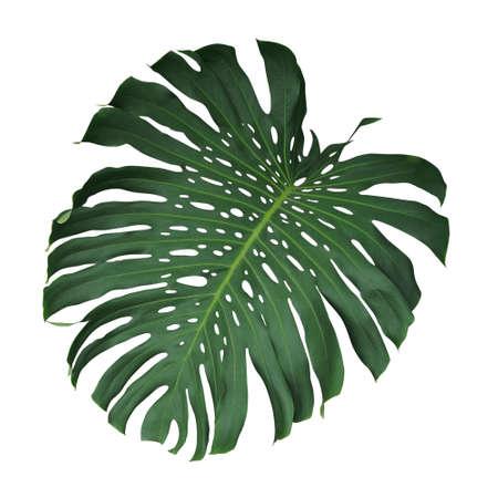 モンステラ熱帯葉クリッピング パスを含める、白地に分離されました。