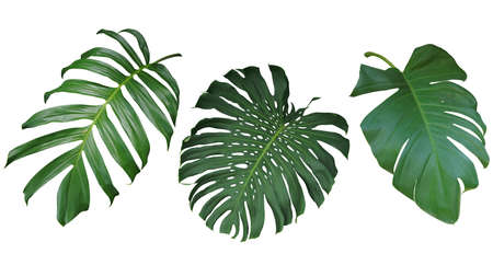 Tropical leaves set isolated on white background, clipping path included. Green leaves of Philodendron, Monstera, and Pothos the evergreen vine exotic plant. Stockfoto