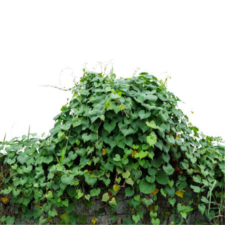 Heart shaped green leaves climbing wild vines (obscure morning glory) covered fence in abandoned area isolated on white background, clipping path included.