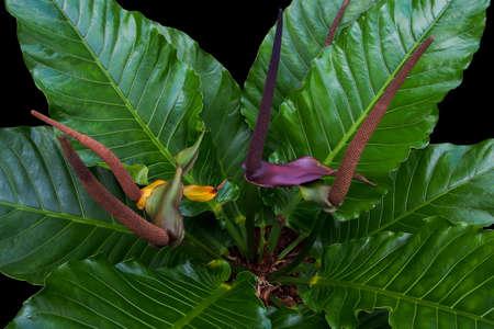 Vogelnestanthurium, Anthurium-hybride, de tropische gebladerteinstallatie op zwarte achtergrond. Detail van grote groene bladeren met purperrode spadixbloemen. Stockfoto