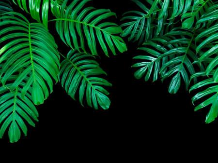 야생에서 열 대 숲 식물, 검은 배경에 버그 린 포도 나무 성장하는 Monstera philodendron 식물의 녹색 나뭇잎.