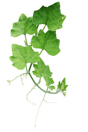 Pumpkin green leaves with hairy vine plant stem and tendrils isolated on white background, clipping path included. Foto de archivo