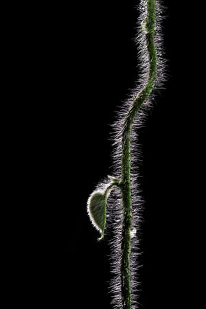 Hairy vine plant stem with young leaf and water drops isolated on black background.