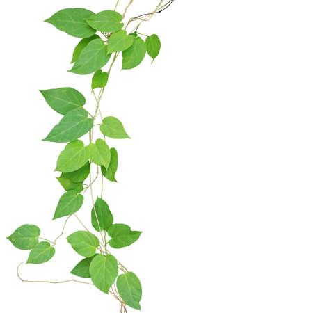 심장 모양의 녹색 잎 클리핑 경로 포함하는 흰색 배경에 고립 된 포도 나무 등반. Cowslip creeper 야생에서 성장하는 약용 열 대 식물입니다. 스톡 콘텐츠