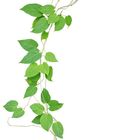 Heart shaped green leaf climbling vines isolated on white background, clipping path included. Cowslip creeper the medicinal tropical plant growing in wild. Banque d'images