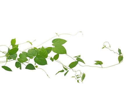Liana verde en forma de corazón que sube la planta de la liana de las vides aislada en el fondo blanco, trayectoria de recortes incluida. Cowslip enredadera de la planta medicinal. Foto de archivo