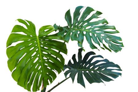 Monstera 또는 분할 잎 philodendron (Monstera deliciosa)의 큰 녹색 잎 야생에서 성장하는 열 대 단풍 식물 클리핑 경로 포함하는 흰색 배경에 고립. 스톡 콘텐츠