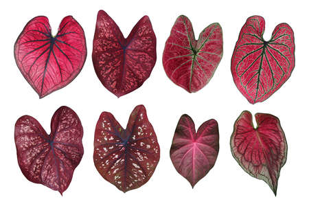 leafed: Heart shaped fancy leafed Caladium red collection, the tropical foliage plant leaves isolated on white background, clipping path included.