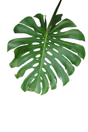 Tropical green leaf Monstera deliciosa, the split-leaf philodendron palm exotic plant isolated on white background, clipping path included.