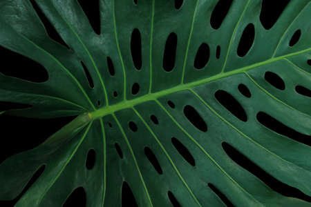 Tropical green leaf pattern on black background, Monstera philodendron plant close up for wall art decoration.