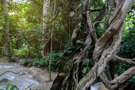 ahorcada: La vides de selva grande torcida de la liana salvaje planta con el musgo, el liquen y la orquídea que sube salvaje se va en los árboles y la cascada, paisaje tropical exuberante del paisaje de la selva tropical.
