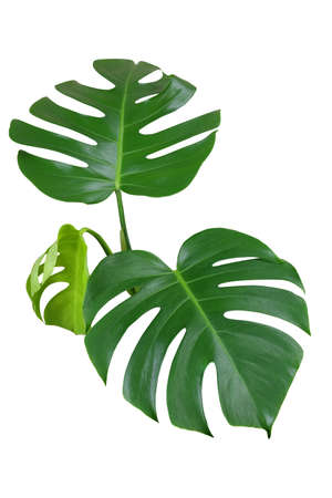 Heart shaped green leaves of monstera or split-leaf philodendron (Monstera deliciosa) the tropical foliage plant isolated on white background, clipping path included. Banque d'images