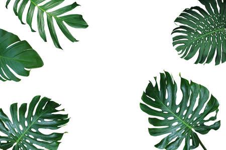 열 대 단풍 자연 프레임 Monstera deliciosa, 분할 리프 philodendron 및 pothos 흰색 배경에 이국적인 식물의 레이아웃입니다.