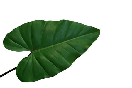 Heart-shaped philodendron green leaf, tropical foliage plant isolated on white background, clipping path included.