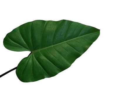 Folha verde de folha de filodendro em forma de coração, planta de folhagem tropical isolada no fundo branco, trajeto de corte incluído.
