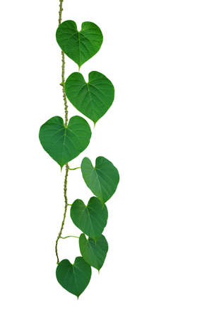 Heart-shaped green leaves climbing vine isolated on white background, clipping path included.