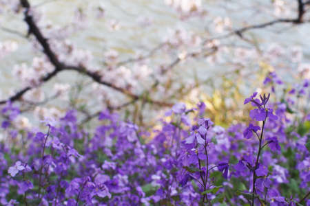 Chinese Violet Cress or February Orchid ( Orychophragmus violaceus) the early spring wild flower blooming underneath the cherry tree branches in blurred background. Stock Photo