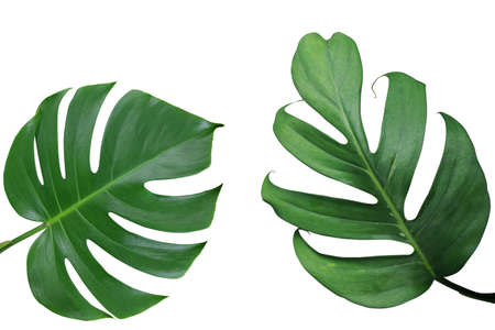 Tropical leaves nature frame layout of Monstera and split-leaf philodendron the exotic foliage plants isolated on white background, clipping path included.