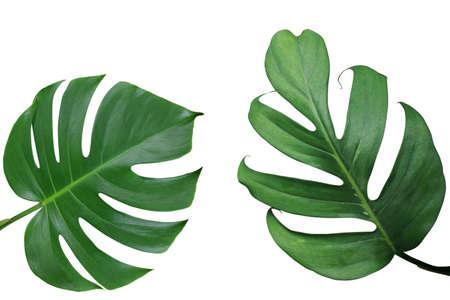 Tropische de aardlay-out van de bladerenaard van Monstera en gespleten blad philodendron de exotische gebladerteinstallaties die op witte achtergrond, het knippen inbegrepen weg worden geïsoleerd.