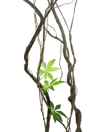 Twisted jungle vines with leaves of wild morning glory liana plant isolated on white background, clipping path included. Stock Photo