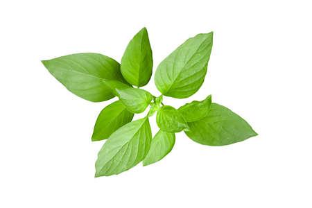 Fresh green leaves of Thai lemon basil or hoary basil tropical herb plant isolated on white background