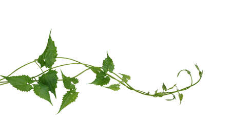 Green leaves wild climbing vine liana plant isolated on white background