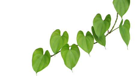 Heart shaped greenery leaves with twisted vine of purple yam or winged yam (Dioscorea alata) the tropical climbing plant isolated on white background, clipping path included.
