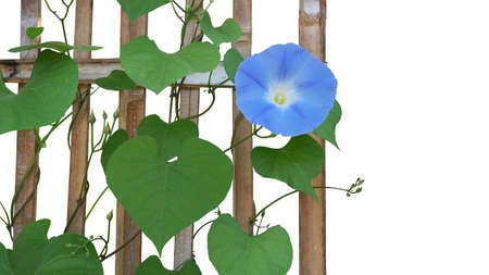 Heavenly blue Morning Glory flower (Ipomoea tricolor) with heart shaped green leaves and vines climbing and twist around rustic bamboo trellis isolated on white background, clipping path included. Imagens