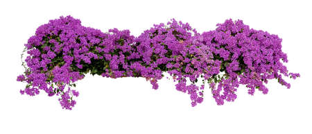 Large flowering spreading shrub of purple Bougainvillea tropical flower climber vine landscape plant isolated on white background Banque d'images