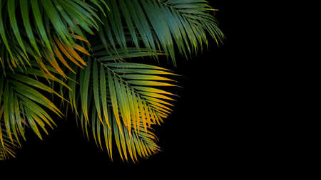 Tropical palm leaves, green and yellow palm fronds on black background.